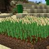 大麦の栽培と収穫